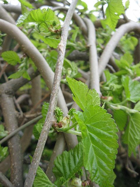 Morus Nigra Pendula Weeping Mulberry